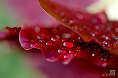 Regentropfen  / raindrops (6) (Ellenore56) Tags: light inspiration flower color colour macro reflection nature crimson rain weather botanical licht photo drops flora focus foto rainyday emotion blossom magic natur perspective drop bloom raindrops vista droplet environment imagination outlook moment botany makro blüte magical hollyhock farbe reflexion rainfall regen raindrop wetter perspektive reflektion tropfen stockrose umwelt sanguine regentag augenblick fokus florescence botanik regentropfen bloodred raindroplet faszination alcearosea florae floras a350 blutrot pflanzenwelt sanguineous ensanguined sonydslra350 ellenore56 02072011
