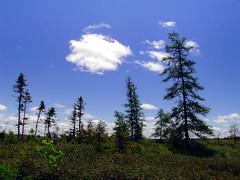 Untitled (Orion 2) Tags: trees canada nature newfoundland landscape bright bluesky wetlands sunnyday peatbog tamaracks blackspruce