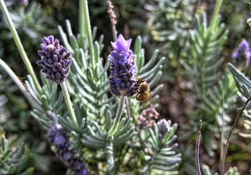 Bee on Lavender by bhojman