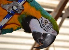 Willie...of course! (RLBrinkman~in and out-mostly out) Tags: birds macaw pars parrots blueandgoldmacaw parrotsr4ever