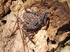 CIMG7281 (mantidboy) Tags: pet forest spider rainforest arachnid tail scorpion exotic bark scorpions whip cave charon hiding predator cf invertebrate dwelling insectivore tailless amblypygid tailess amblypygi grayii phillipenes grayi