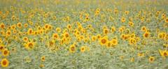 Sunflower (Ilan Ejzykowicz) Tags: italy soleil italia grand girasole tournesol gula sonnenblume girassol maravilla helianthus  helianto mirasol solsikke  napraforg annuus helianthusannuus girassis troheol suncokret floareasoarelui auringonkukka ekilore turnesol   harilikpevalill isoauringonkukka  hngdng jquima calom tlapololote mazdeteja xirasol zunnebloeme sunfloro  sonecznikzwyczajny almindeligsolsikke sluneniceron chmalxchitl   lusnagrine neineangrine  adignbaxan gulberojk intiwayta kembangsrengng pokokbungamatahari saulgrieze snnica syca virasolelh    bleuniotroheol syco mirasl sanruus sanbluum podunac irasol tornizol snnara berbiro veraroj gulaberberoj