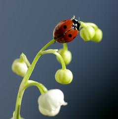 Accroche  ton brin, un morceau d'lytre rouge, une fleur couleur de sang ! (Rmi Vannier) Tags: flower macro fleur bug insect square mai brest ladybird ladybug belvedere muguet insecte 2012 coccinelle gx10 carre coleoptere marienkafer giuscescu tech1kon