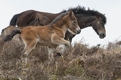 Exmoor mare & foals in exmoor weather (explored) (devonteg) Tags: wild rain nikon mare heather may bracken hawthorn 2012 exmoor foals lr4 exmoorponies 70300mm4556vr d7000 mothernaturesgreenearth chetsfordwater exmoorweather