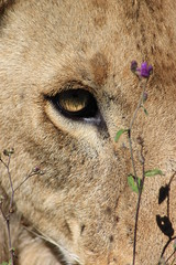 King's eye (jnyaroundtheworld) Tags: africa animals tanzania wildlife lion ngorongoro crater zebra giraffe massai serengeti animaux girafe afrique faune zbre tanzanie greatmigration wetseason manyaralake ndutu felins masa lacmanyara saisondespluies grandemigration