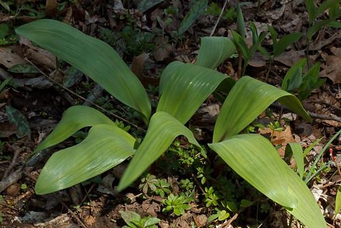 Allium tricoccum (wild leek)