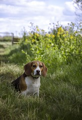 Dylan in the Flowers (:Ree) Tags: dog beagle nikon northsomerset congresbury d7000 nikond7000 rhianonfarrow