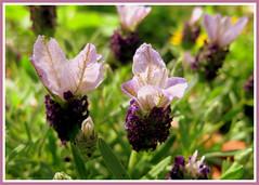 Schopf Lavendel- Lavandula stoechas- French Lavender (Marlis1) Tags: lavender frenchlavender schopflavendel laminaceae marlis1 cantueso mediterraneangardens tortosacataluaespaa toman