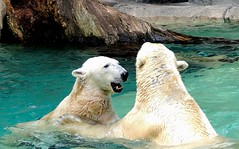 Polar Bears, Cincy Zoo (treewoman8) Tags: bear playing water zoo polar polarbears cincinnatzoo