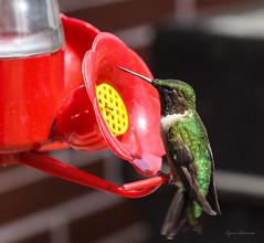 Hummingbird-Landing (Renn's pics) Tags: macro spring hummingbird hummingbirdfeeder tamron90mm