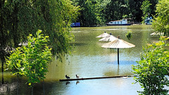 Two birds and three umbrellas in flood (mares816) Tags: nature water birds animals river landscape flood umbrellas