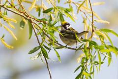 _53F0494 Chestnut-sided Warbler (~ Michaela Sagatova ~) Tags: male spring dundas chestnutsidedwarbler dendroicapensylvanica birdphotography dvca michaelasagatova