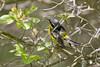 _53F2121 Magnolia Warbler (~ Michaela Sagatova ~) Tags: male dundas birdphotography magnoliawarbler dendroicamagnolia dvca michaelasagatova spring2014