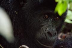 Male Mountain Gorilla (5 y.o.) - Bwindi Impenatrable Forest, Uganda