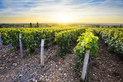 Sun is rising over vineyards of Beaujolais, France (Gael F. Photography) Tags: beaujolais aoc baste beaujolaisvillage beverage bluehour burgundy countryside dawn dusk europe field france french gamay goldenhour landscape redwine rhone rhonealpes sky sunrise sunset twilights vine vineyard vineyards whitewine wine winery