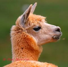Alpaca, Vicugna pacos (paulberridge) Tags: alpaca vicugnapacos fleece wool animal mammal farm lama australia cairns peru wildlife nature outdoors