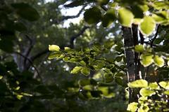Beech forest (ramosblancor) Tags: naturaleza nature plantas plants botánica botany árboles trees hojas leaves haya beech luz sol sunlight bosque forest fagussylvatica fuentescarrionas palencia españa spain