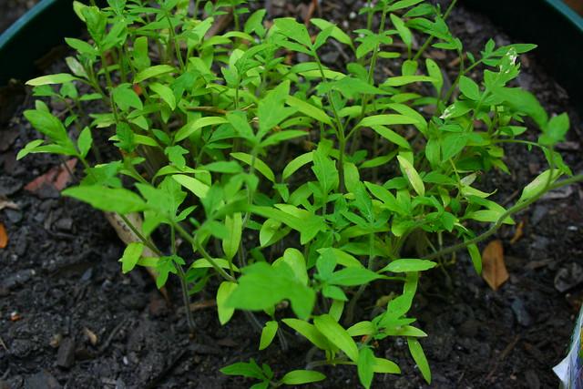 Baby Tomato Plants