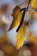 (louisa_catlover) Tags: winter tree nature walking leaf suburban bokeh australia melbourne birch local neighbourhood betula betulaceae 3129 boxhillnorth