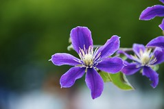 Violet (Luigi R. Viggiano) Tags: flower macro nature colors violet flickrduel