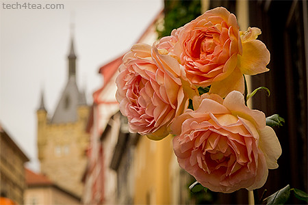 Roses by the road, with the Blauer Turm in the background. Taken with an Olympus E5