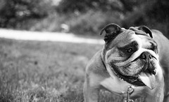 the summer on film [5] (Oh beautiful world.) Tags: summer blackandwhite bw dog pet pets sun cute film monochrome face animals analog 35mm picnic dof pentax sweet bull bulldog englishbulldog bully petportrait ohbeautifulworld treesje hannekevollbehr