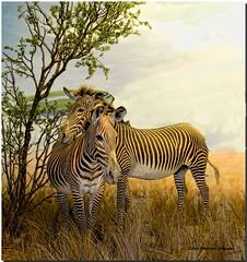Affectionate Zebras  (EXPLORED!  #232) (MyRidgebacks - Sharon C Johnson) Tags: nature wildlife ngc zebras noahsark naturescene explored impressedbeauty caacademyofsciences myridgebacksphotography magicunicornverybest magicunicornmasterpiece mygearandme mygearandmepremium mygearandmebronze mygearandmesilver mygearandmegold mygearandmeplatinum blinkagain dblringexcellence tplringexcellence artistoftheyearlevel3 artistoftheyearlevel4 artistoftheyearlevel5 eltringexcellence artistoftheyearlevel7 artistoftheyearlevel6 bbexcellence