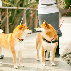 sister and brother, Suki and Zuko! (tumbleweed.in.eden) Tags: sanfrancisco dog dogs pups flickr meetup sanfran suki dogpark shibainu taro missionbay zuko philz jonathanfleming mysukipreset