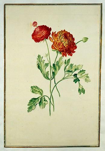 018-tulipan 18-Karlsruher Tulpenbuch - Cod. KS Nische C 13- Badische LandesBibliotheK