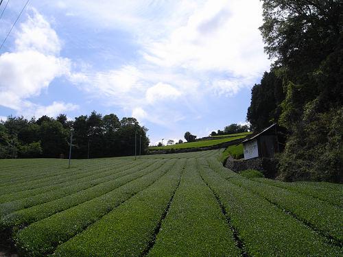 茶畑@山添村-02