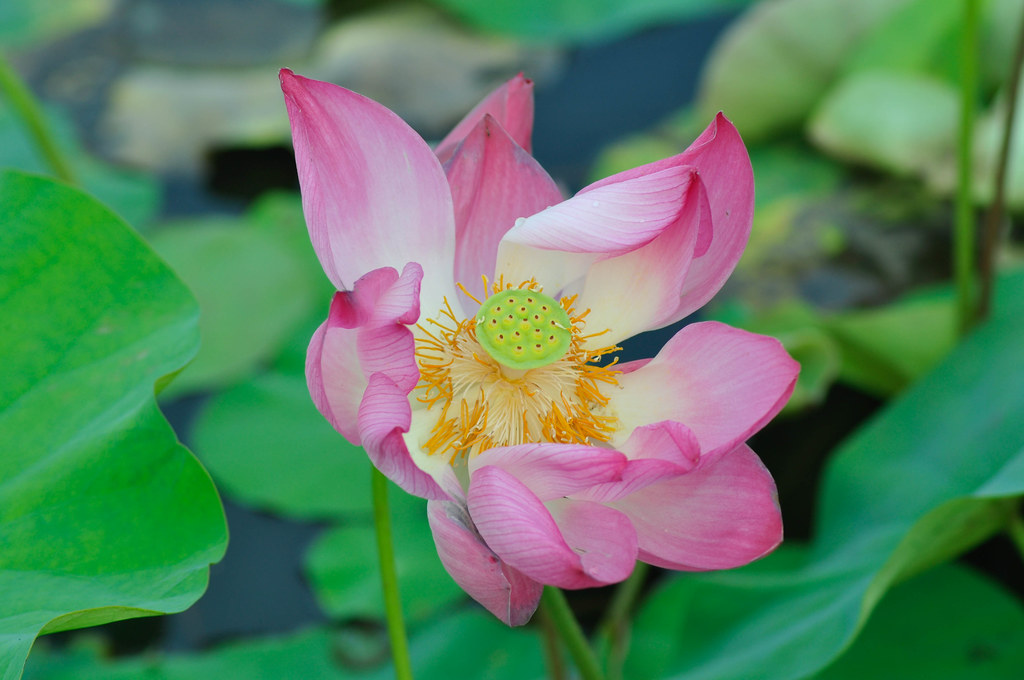 The pride of a Lotus 莲花的兴旺时 ...