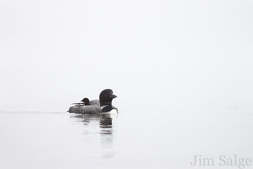 Loon and Chick Moving In