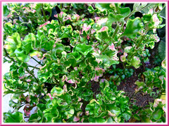 Alternanthera ficoidea (Joseph's Coat, Parrot Leaf, Calico Plant, Sanguinarea) with green-yellow-pink variegated foliage in our garden bed