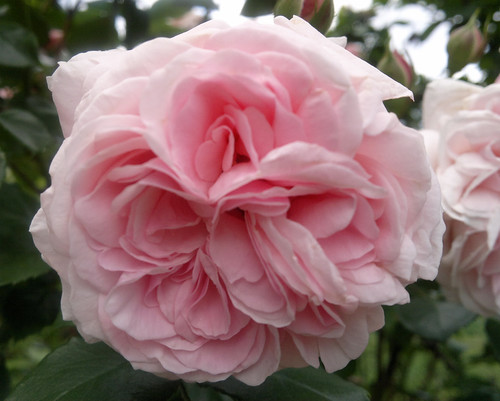 Octavia Hill Rose