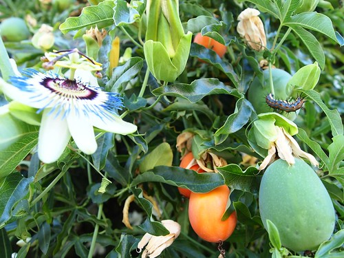 Passiflora flower, fruit and Gulf Fritillary catepillar