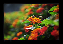 you and me! #2 (e.nhan) Tags: flowers light flower art nature closeup nikon colorful colours dof bokeh arts lantana backlighting d90 enhan