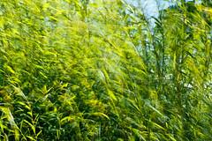 Summer Breeze (dibytes) Tags: summer collingwood july motionblur willow breeze dailyshoot 3652011