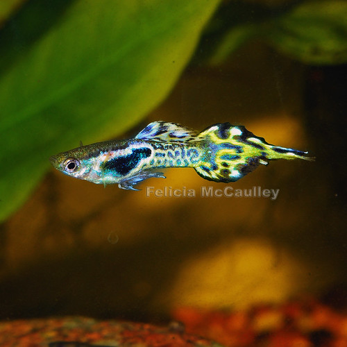 hybrid guppy endler pintail by Felicia McCaulley