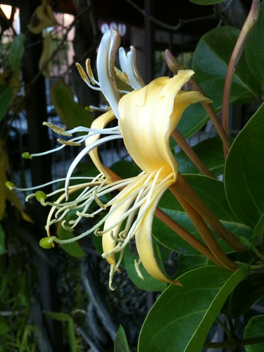 Honeysuckle in San Francisco