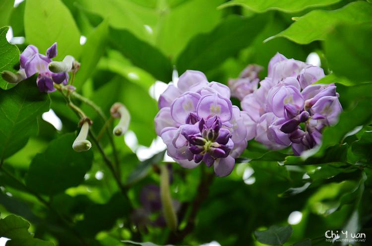 植物園紫藤06.jpg