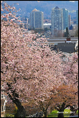 The City Is Enclosed By Blossoms - Cherry Blossoms Renfrew Street N8766e (Harris Hui (in search of light)) Tags: flowers trees canada vancouver cherry spring nikon bc blossoms richmond cherryblossoms slope renfrew d300 springblossoms renfrewstreet sigma70200mmf28 slopingstreet sigmazoomlens nikond300 harrishui vancouverdslrshooter