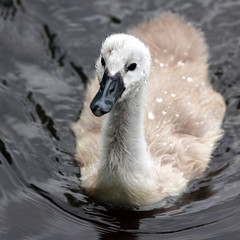IMG_6351 -- Three weeks old cygnet with recent diving experience (Nils Axel Braathen -- Thanks a lot for +200K views) Tags: france nature birds swan wildlife cygnet soe cygne fugler oiseaux cygnusolor potofgold levsinet svane cygnetubercul birdperfect mygearandme mygearandmepremium bestofblinkwinners flickrstruereflection1 flickrstruereflection2 rememberthatmomentlevel1 rememberthatmomentlevel2 rememberthatmomentlevel3 me2youphotographylevel2 me2youphotographylevel1 freedomtosoarlevel1birdphotosonly freedomtosoarlevel2birdphotosonly
