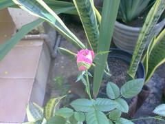 Inverno 2012 (.:amanda:.) Tags: planta minirosa