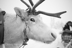 0046 (lesley v) Tags: holiday snow ice finland reindeer husky sweden arctic aurora northernlights january2013 davviarcticlodge