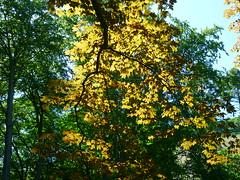 Rotbraune Blätter (Jörg Paul Kaspari) Tags: leaves leaf spring acer blatt blätter saar frühling pseudoplatanus rotbraun bergahorn saartal kanzem purpurblättriger ´atropurpureum´ acerpseudoplatanus´atropurpureum´