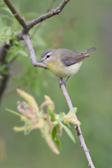 _53F1596 Philadelphia Vireo (~ Michaela Sagatova ~) Tags: spring dundas birdphotography vireophiladelphicus dvca philadelphiawarbler michaelasagatova