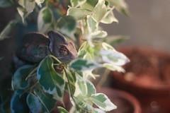 Kowalski (unSaint Saturn) Tags: chameleon