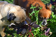 june2 (KelliLorraine) Tags: dog pets green love dogs nature animals garden nikon funny pug elpaso pugs