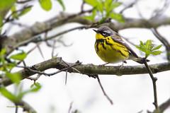 _53F0110 Magnolia Warbler (~ Michaela Sagatova ~) Tags: male rain spring dundas songbird magnoliawarbler dendroicamagnolia dvca michaelasagatova