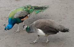 Pfauen-Pärchen (kirstenreich) Tags: animals tiere vögel pfau pfauen